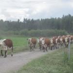 Lehmäjengi